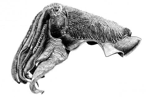 MPA-Cuttlefish